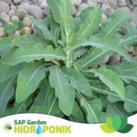 Tanaman Herbal Daun Tempuyung Segar Seikat 30-35 gram