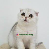 Harga Scottish Fold Katalog.or.id
