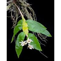 Dendrobium platygastrium (anggrek capit udang)