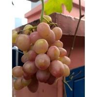 Info Bibit Anggur Merah Import Katalog.or.id