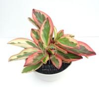 Tanaman Hias Peperomia Tricolor