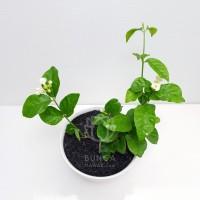 Bibit Tanaman Hias Melati Kampung Super Wangi (Jasmine Plant)