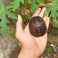 Kura kura ambon unik overscute rare item 19 scute