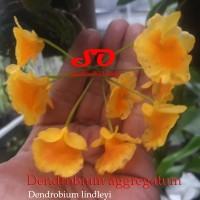 Dendrobium agregatum (special edition)