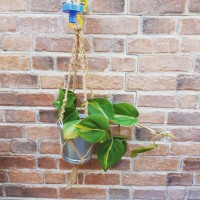 Hanging Plant Macrame_Tanaman Gantung Macrame_Philodendron brasil