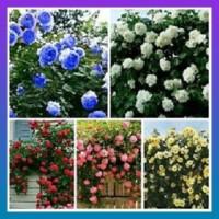 Jual Benih Bunga Mawar Rambat Campur Warna / Climbing Mix Rose Import