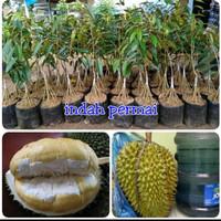 Bibit durian bhineka bawor kaki 10