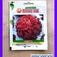 1 Pack 1000 Benih Selada Merah Arista Bintang Asia Bibit Hidroponik