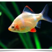 Ikan Hias Sumatera ( Tiger Barb ) Albino M u Aquascape