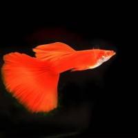 Ikan Hias Guppy Red Singapore M untuk Aquascape