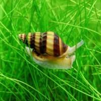 Ikan Hias Keong Assasin untuk Aquascape