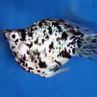 Ikan Hias Marbel Molly M untuk Aquascape