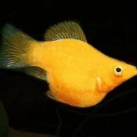 Ikan Hias Golden Molly M untuk Aquascape