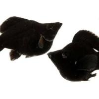 Ikan Hias Black Molly M untuk Aquascape