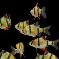 Ikan Hias Sumatera ( Tiger Barb ) M untuk Aquascape