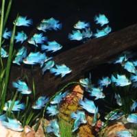 Ikan Hias Blue Electric M untuk Aquascape