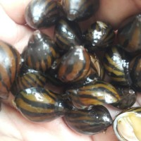 keong turbo / zebra nerote snail / kebo / neritina turrita / aquascape