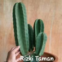 Tanaman Kaktus cowboy cabang / kaktus blimbing