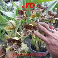 Grammatophyllum Jumbo Grand