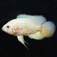 Harga ikan hias predator oscar albino aquarium aquascape garansi | antitipu.com