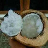 Promo Bibit kelapa kopyor genjah nias