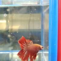 Hiasan Aquarium Cupang Halfmoon XL Putih Merah untuk Aquascape
