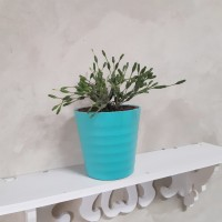 Deskplant_Hatiora Salicornioides_Tanaman Unik_Tanaman Import