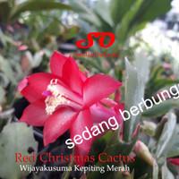 Red Christmas Cactus / Wijayakusuma Kepiting Merah (berbunga)