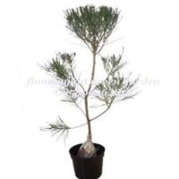 Bibit Tanaman Hias cemara udang bonsai