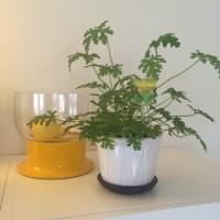 bunga geranium citrosa super wangi mengalahkan wangi tanaman lavender