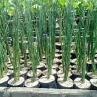 5 Bibit Bambu Air Tanaman Hias