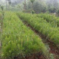 5 Bibit Pohon Pinus Merkussi Siap Tanam