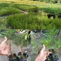 Bibit Tanaman Pinus Merkusi Bakal Bonsai