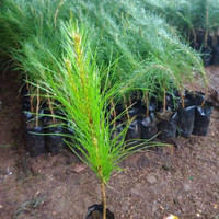 15 Bibit Pohon Pinus Merkusi Untuk Untuk Bonsai