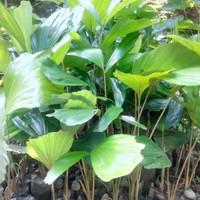 20 Bibit Pohon Nau Aren Genjah Free 2