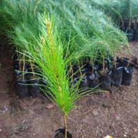20 Bibit Pohon Pinus Bakalan Bonsai