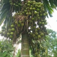 10 Bibit Pohon Buah Pinang Betara Unggul