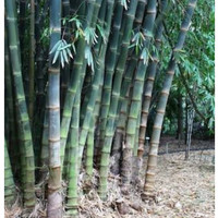 Bibit Bambu Petung Kul Jar Tanaman Hidup