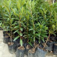 3 Pohon Bibit Santos Lemon Kuning