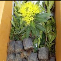 5 Batang Bunga Xantos Santos Kuning Lemon