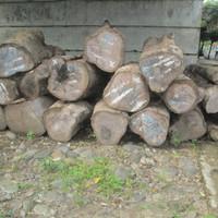 1 Kg Biji Benih Pohon Jati Hybrida Solomon