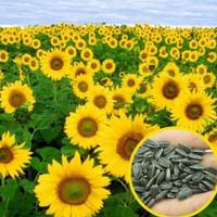 500 gr Biji Benih Kuaci Bunga Matahari Yellow