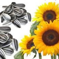 1 Kg Biji Benih Bunga Matahari Yellow