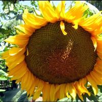 10 Ons Biji Benih Bunga Matahari Kuaci