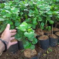 Bibit tanaman Mangkokan atau daun mangkokanhias pekarangan