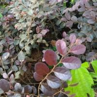 Bibit tanaman Tanaman Kloropitalum bunga ungu / loropetalum chinense