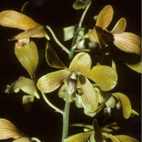 Anggrek remaja Dendrobium schulleri J.J.Sm. 1914