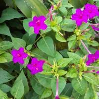 Jual Benih Bunga Mirabilis Jalapa (4 O'clock Flower)-fuschia