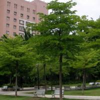 500 gr Biji Benih Pohon Ketapang Kencana
