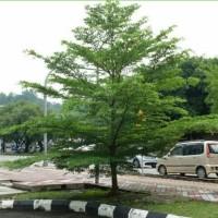 1 Kg Biji Benih Pohon Ketapang Kencana Siap Semai